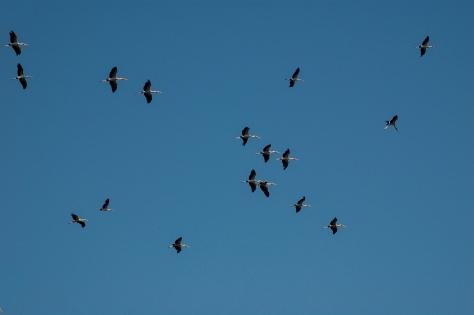 Padrão de cegonhas no céu
