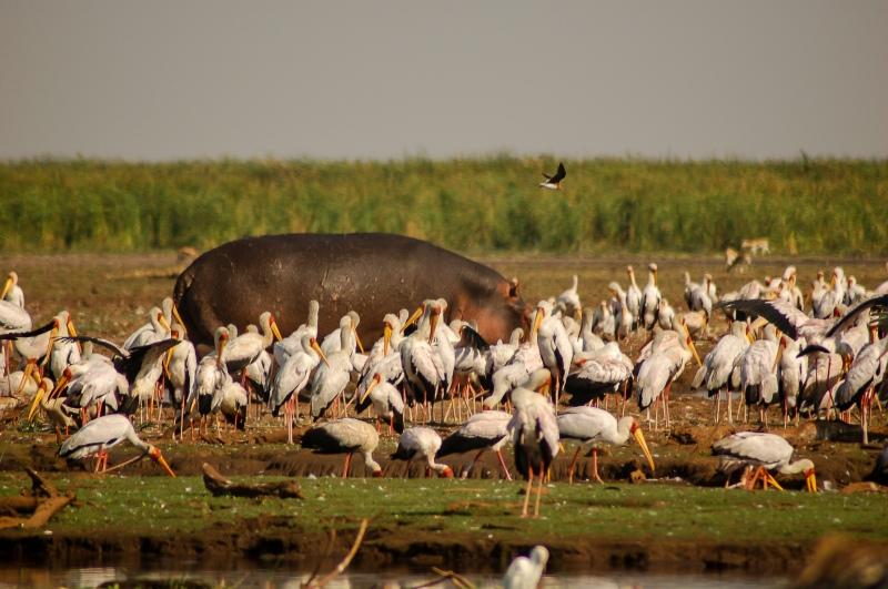 Hipopótamo entre cegonhas