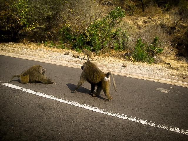 Babuínos na estrada